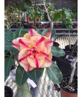 Rose du désert (Adenium) 7500