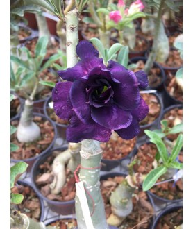 5 (Adenium Obesum) Rose du...