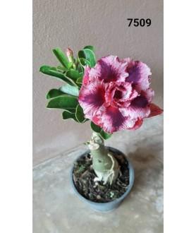 Rose du désert (Adenium) 7509