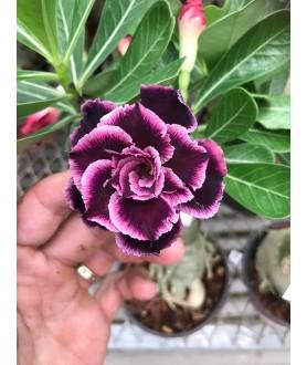 Rose du désert (Adenium) 7856