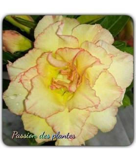 Rose du désert (Adenium) 7858