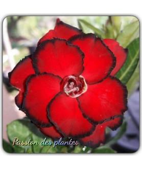 Rose du désert (Adenium) 7607