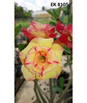 Rose du désert (Adenium)...