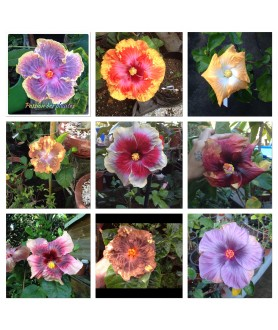 5 GRAINES HIBISCUS MIX
