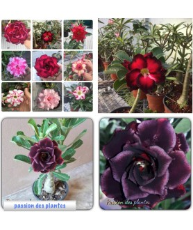 100 graines mix Adenium